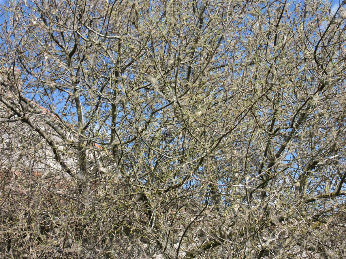 Hyponomeutes dans un cerisier sauvage - Gros plan