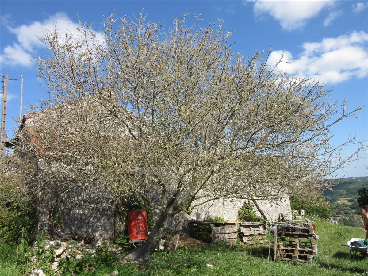 Hyponomeutes dans un cerisier sauvage