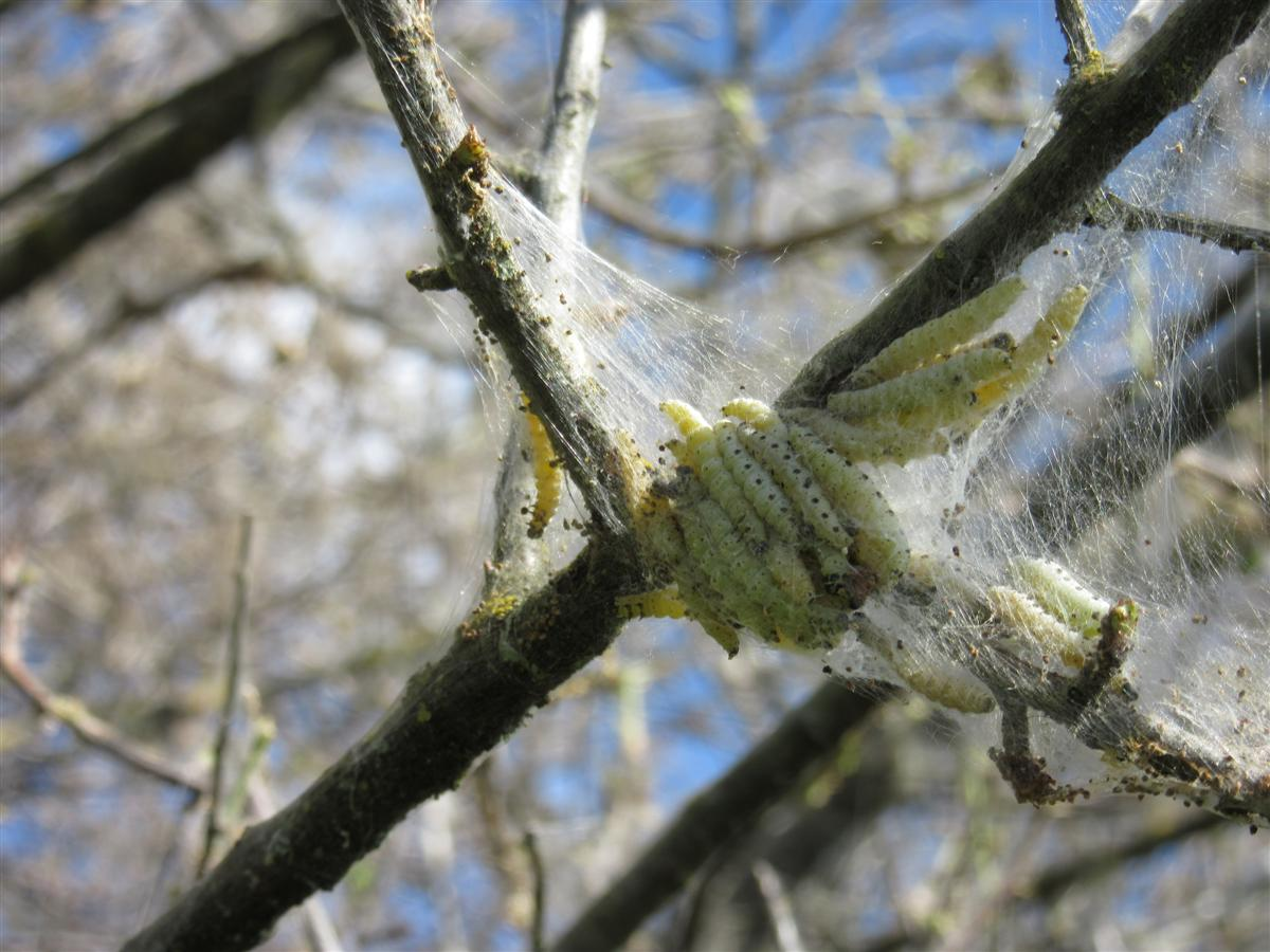 Hyponomeutes du cerisier sauvage: chenille