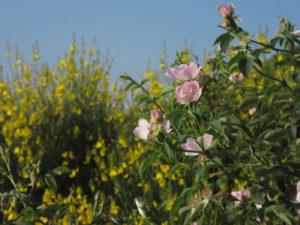 Le Labyrinthe de La Couronne - Fleurs d'églantier